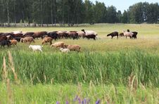 Free Sheeps Grazes On A Meadow. Royalty Free Stock Image - 28632956