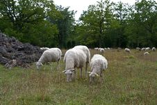 Free Grazing Sheep Stock Images - 28633914