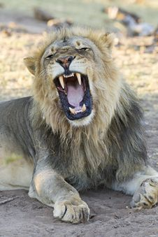 Male African Lion &x28;Panthera Leo&x29; Yawning, Botswana Royalty Free Stock Photography