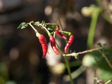 Free Chilli Plants Stock Photo - 28635840