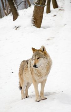 Free Wolves Stock Photo - 28638670