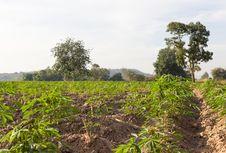 Free Cassava Or Manioc Field Royalty Free Stock Image - 28639016