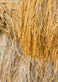 Free Dry Paddy Rice Stock Images - 28639724