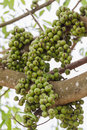 Free Fig Fruit Stock Photos - 28640153