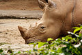 Free White Rhinoceros Resting On The Ground. Royalty Free Stock Images - 28641869