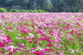 Free Pink Cosmos Flowers Stock Photo - 28642510