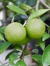 Free Pomelo Fruit Stock Photo - 28643020
