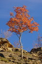 Free Young Tree In Autumn Stock Image - 28643261