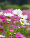 Free White Cosmos Flowers Royalty Free Stock Photo - 28644665