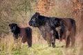 Free Galloways Royalty Free Stock Photos - 28644808