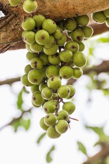 Free Fig Fruit Royalty Free Stock Images - 28640239