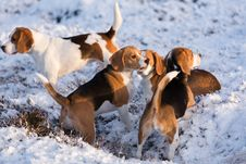 Free A Group Of Beagles Stock Photo - 28642750