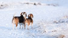 Free Two Beagles Stock Photo - 28642760