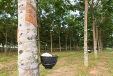 Free Tapping Latex From Rubber Tree Stock Photos - 28644593