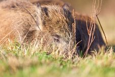 Free Boar Stock Photos - 28644823