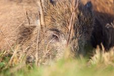 Free Boar Royalty Free Stock Photography - 28644837