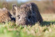 Free Boar Stock Images - 28644854