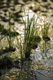 Free In The Rice Field Royalty Free Stock Photos - 28647738