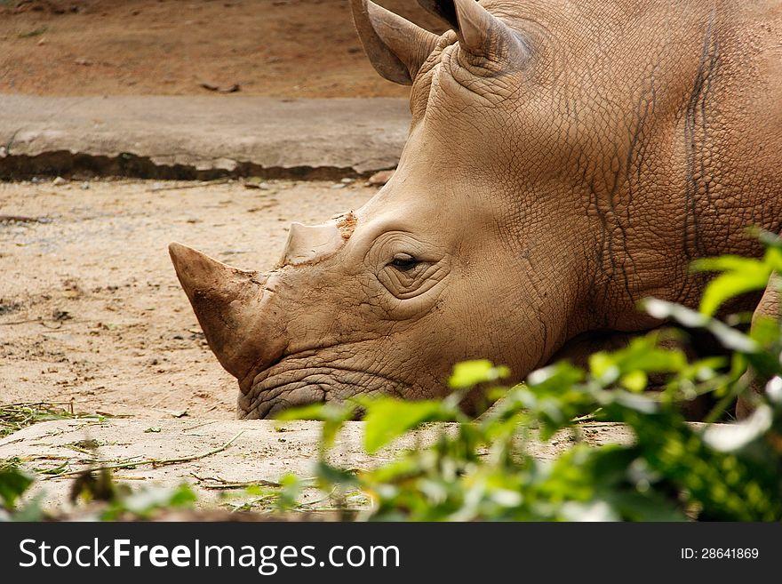 White Rhinoceros resting on the ground.