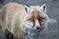 Free Fox Stock Photography - 28656852