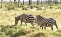Free Three Zebras Royalty Free Stock Image - 28657626