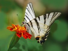 Free Butterfly Podalirius Royalty Free Stock Photos - 28652508