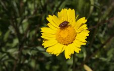 Free Italian Striped-bug Over A Yellow Daisy Stock Images - 28654354
