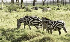 Free Three Zebras Royalty Free Stock Image - 28657626