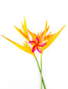 Free Heliconia Royalty Free Stock Photography - 28661047