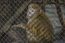 Free Monkey In Cage Royalty Free Stock Photography - 28660817