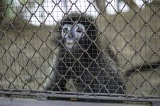 Free Gibbon In Cage Stock Photos - 28660863