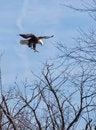 Free Adult Bald Eagle Stock Photography - 28671882