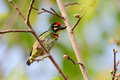 Free Coppersmith Barbet Royalty Free Stock Image - 28672206