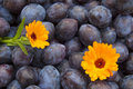 Free Blue Plums Stock Photography - 28674602