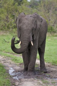 Elephant Playing In Mud Royalty Free Stock Photography