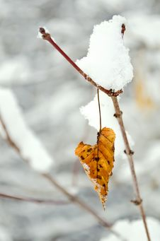 Free Dry Leaf Covered With Snow Royalty Free Stock Photography - 28678687