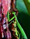 Free Praying Mantis Royalty Free Stock Photos - 28680288