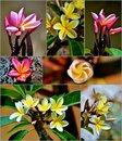 Free Frangipani Blossom Stock Photos - 28680433