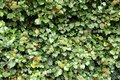 Free Green Climber As Beautiful Background Stock Images - 28684004