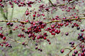 Free Red Berries In Winter Stock Image - 28684791