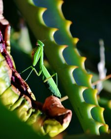 Free Praying Mantis Stock Images - 28680284