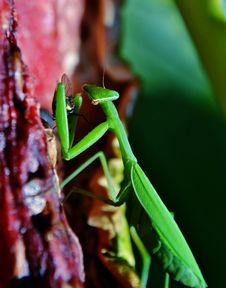 Free Praying Mantis Royalty Free Stock Photos - 28680288