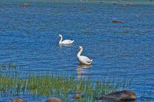 Free Swans Royalty Free Stock Image - 28680366