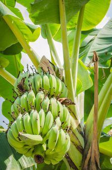 Free Banana Tree Royalty Free Stock Images - 28687069