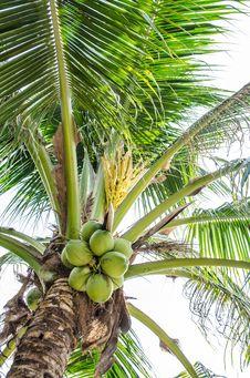 Free Coconut Tree Stock Image - 28687281