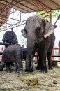 Free Family Of Elephant Royalty Free Stock Image - 28691946