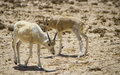 Free Baby Of Asian Antelope  Addax Stock Photo - 28693160