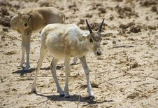 Free Baby Of Asian Antelope  Addax &x28;Addax Nasomaculatus&x29; Royalty Free Stock Photography - 28693177