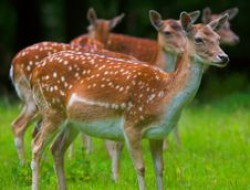 Free Deer Stock Photos - 2871913
