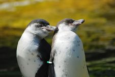 Free Penguins In Love Royalty Free Stock Photo - 2872645